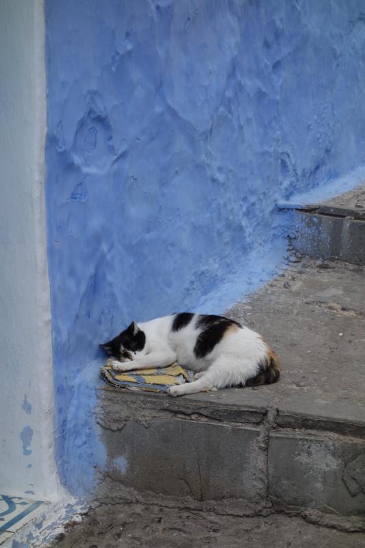 marokkanische Katze